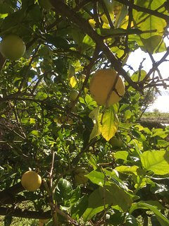 Lemon trees in front of the house