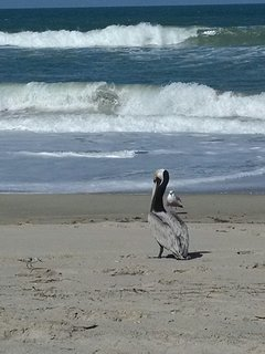 Pelican and Seagull on local beach