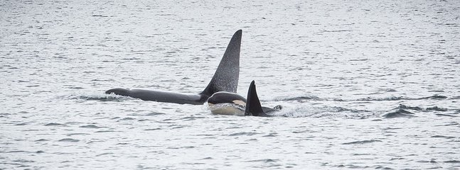 Killer whales have become regular visitors to the shores of Shetland. Seen from Brekka Lodge lounge.