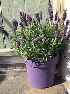 Lovely lavender at your door