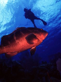 Meet new friends (and friendly grouper) underwater. If you don't dive, Reef Divers can teach you.