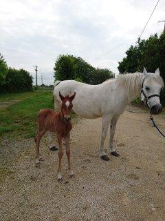 nos chevaux pur sang arabes