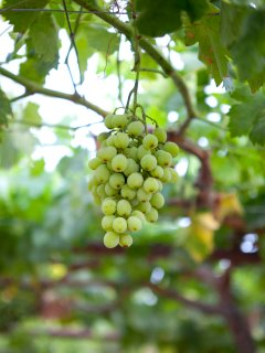 August and September, You may have your own grapes at the Villa.