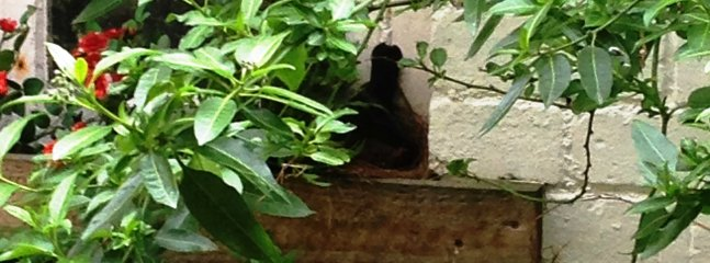 Our friendly blackbird in her nest