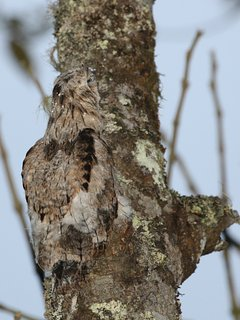 Taken by a guest of the not-so-common, common potoo, at a 10 minute walk from the property.