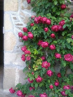 Roses outside the back door, on the top terrace where you can have coffee - entrance through cave