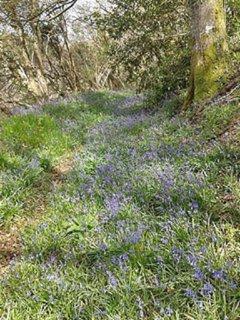 Bluebell walk on grounds