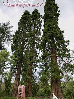 Some of our giant Redwood trees