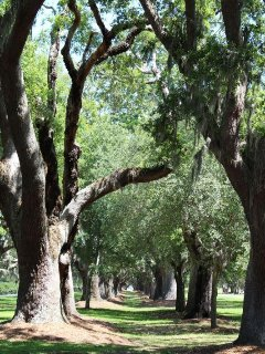 Avenue of Oaks.JPG
