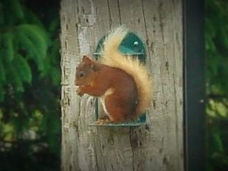 Red squirrels in the garden. You will also see Woodpecker, Jay, many small birds, Deer and Hare.