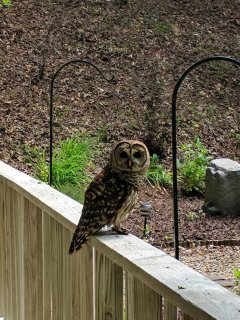 Olive the Owl,a frequent visitor to the Creekside that seems to like her photo taken