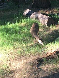 Deer in our back yard