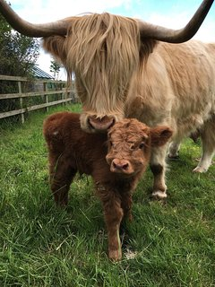 Jazz with calf born in June 2017.