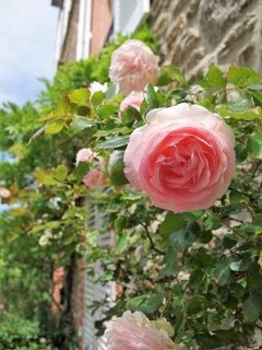 English roses of the property