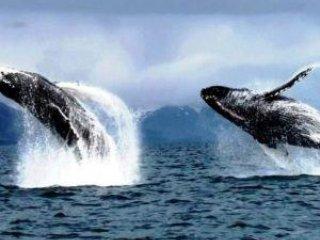 Valar besöker Kodiak varje sommar och ses ofta utanför punkten bara ned från Goldilocks B & B.