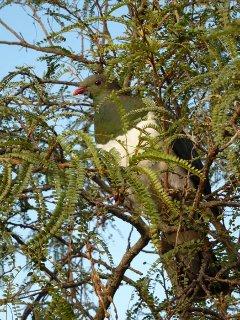 Kereru or Wood Pigeon native bird in our garden