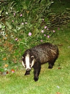 Badgers visit us every evening