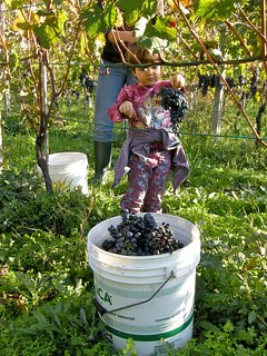 Grape harvest - end of September, come and join us!