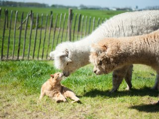 Luxury guesthouse with view on Alpacas and Private Entry, 1 hr from Amsterdam
