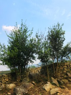 our 80 years tea trees; it's a pleasure to serve you cups of tea with these tea leaves