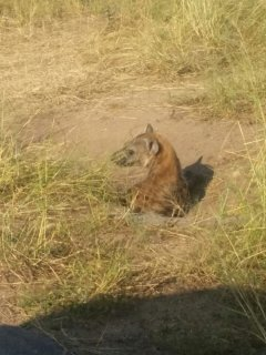 Hyena - Kruger National Park