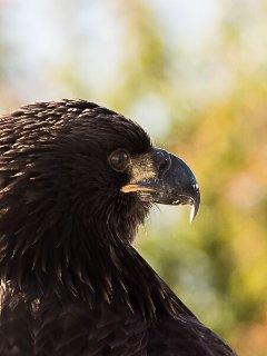 Tijmen's Eagle