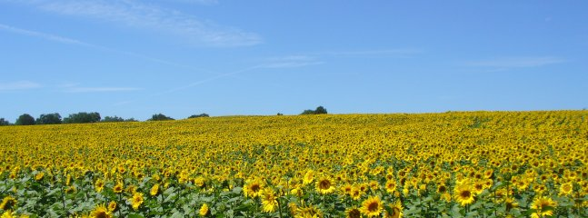 Sunflowers growing in the fields around our property this year