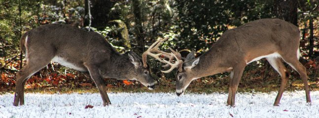 BUCKS BUTTING HEADS, AMAZING, CADES COVES