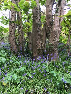 Beautiful bluebells 14/4/17