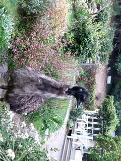 Bob emu strolls in the garden. You can feed him apples. Or not.