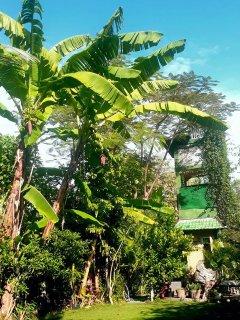 Flowering banana tree