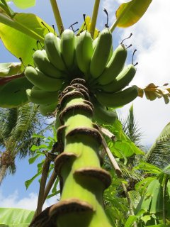Royal Palm Beach Resort Bananas Tree