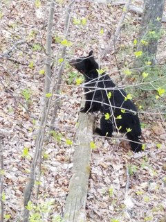 Bear at our cabin taken by guest.