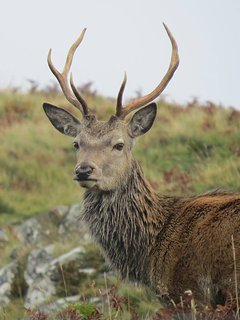 Local Stag adjacent to cottage
