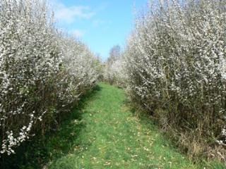 Blackthorn blossom at Ferndale