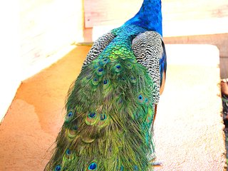 Resident male peacock with stunning blue and green feathers!