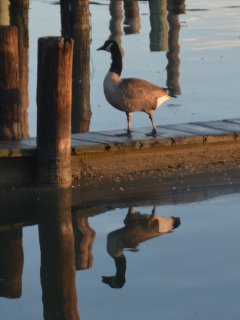 Ducks, Geese, Osprey, Bald Eagles, Great Blue Herons,  Wood Peckers, Martins, so many birds\ animals