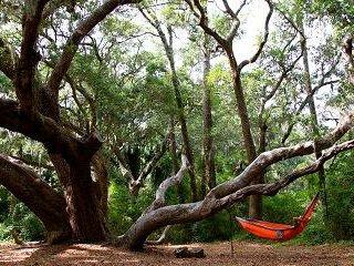 beautiful old oaks