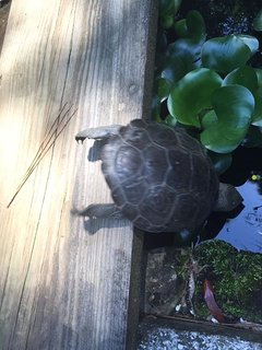 turtle taking a dip in the pond