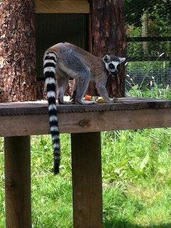 Lemur at local wildlife park