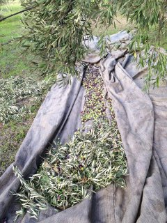 Harvested olives.