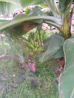 Bananen auf dem Grundstück kostenlos, soviel der Gast essen möchte.Papya und Avocado nach Jahreszeit