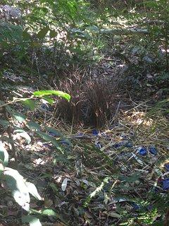 Rare bower bird lives on the property