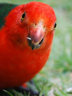a friendly King Parrot