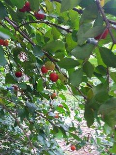 Cherry fruit in garden