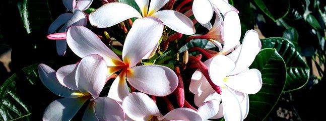 Frangipani in full bloom on ne of the many trees that dot the garden