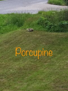 Neighborly porcupine