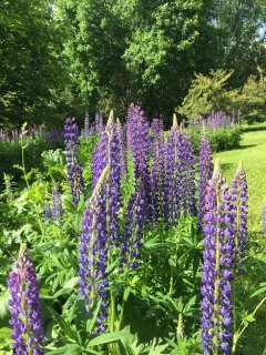 Lupine in June