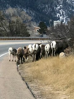 Rocky Mountain Sheep. Look for these guys off I 70 at US 40.
