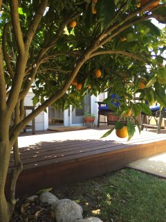 The orange tree produces outstanding oranges for winter visitors!